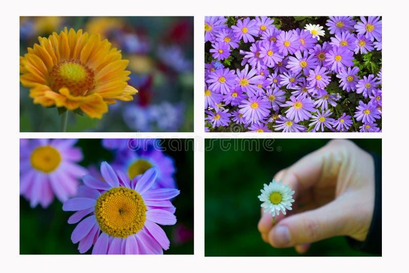 Marguerites de thème d'amour horizontales avec la fin de main  photos stock