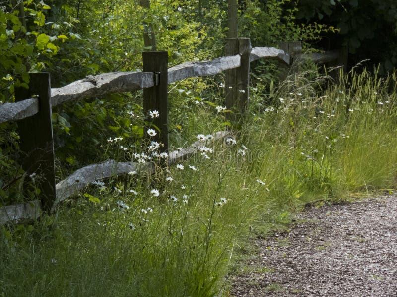 Marguerites des prés s'élevant à côté d'un poteau et d'une barrière de rail en bois photos stock