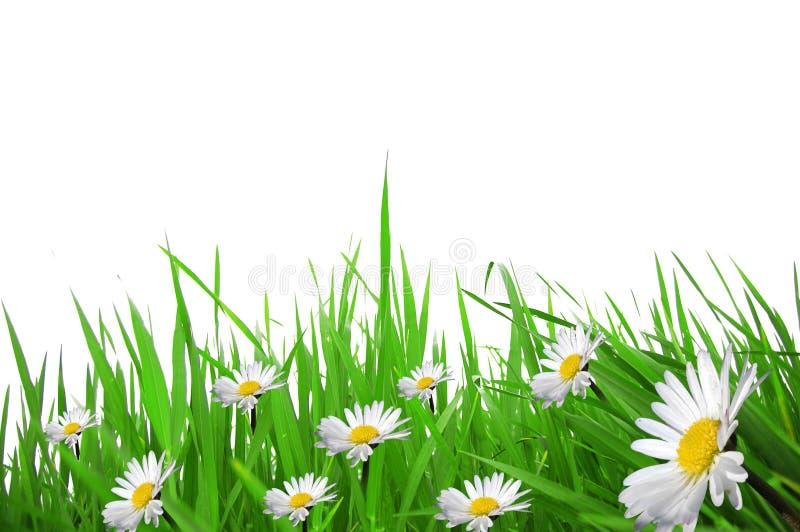 Marguerites et brins d'herbe images libres de droits