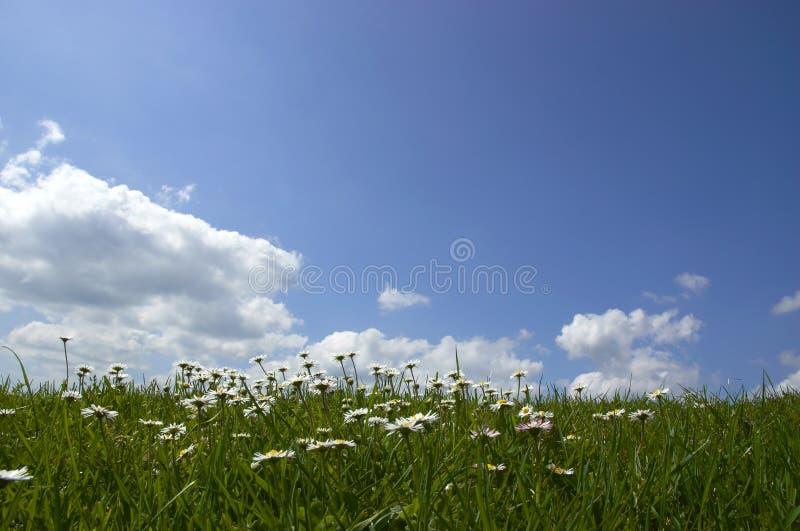 Marguerites et ciel images libres de droits