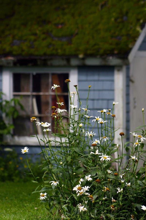 Marguerites et grange de toit de mousse photos libres de droits