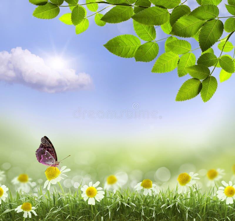 Marguerites et papillon image stock