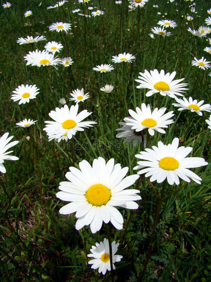 Marguerites field. Marguerites in green spring field royalty free stock photos