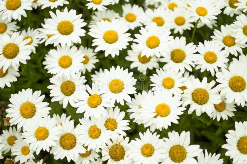 Marguerites formant le fond d'été et de printemps images libres de droits