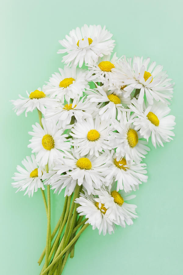 Marguerites fragiles sensibles photo libre de droits