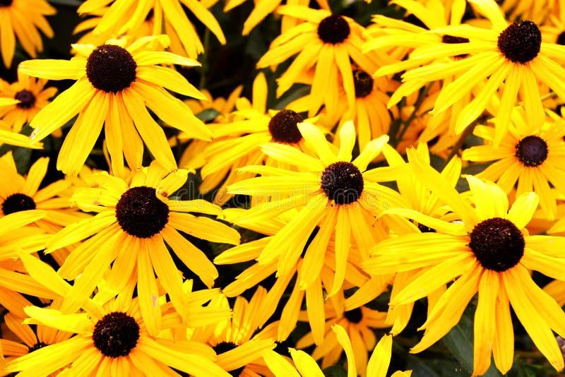 Marguerites jaunes images stock