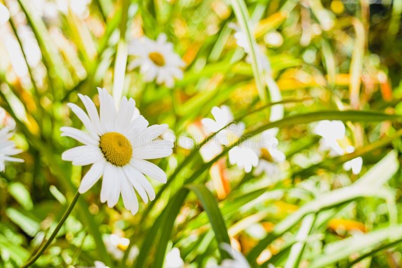 Marguerites mignonnes sur un champ vert photographie stock