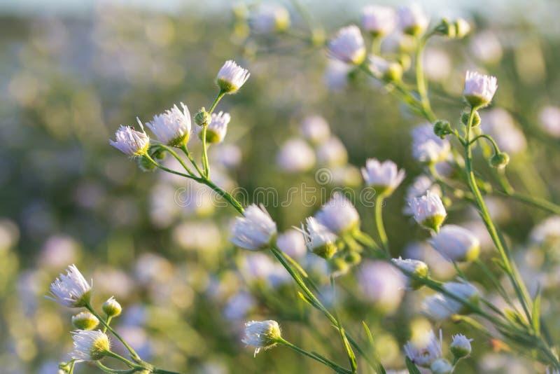 Marguerites minuscules photo stock