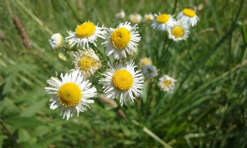 Marguerites minuscules blanches images stock