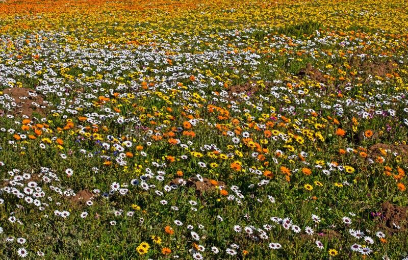 Marguerites multicolores en parc national de côte ouest image stock
