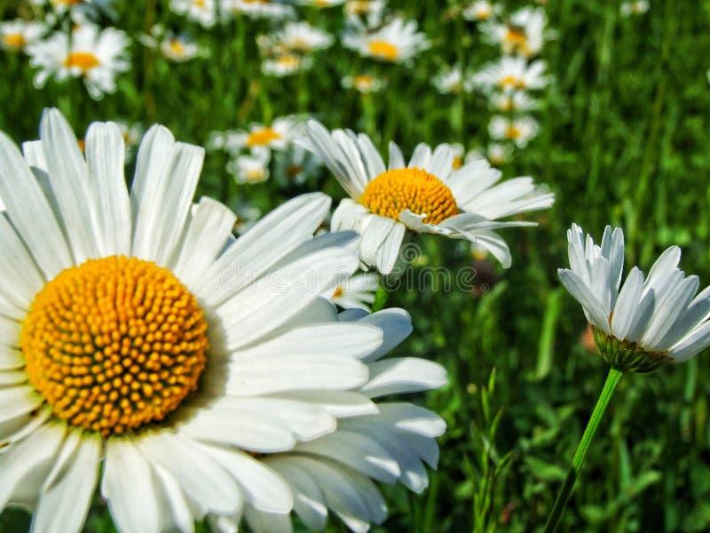 Marguerites, nature image libre de droits