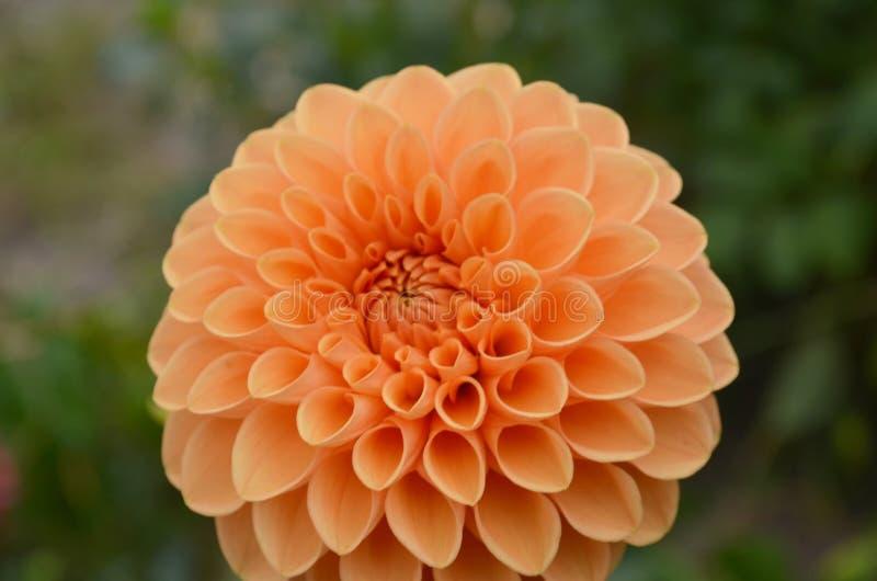 Marguerites oranges image stock