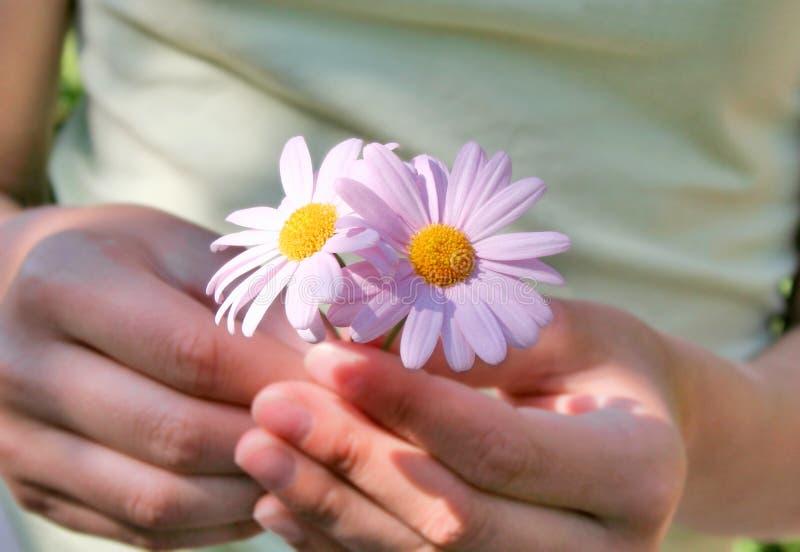 Marguerites roses image stock