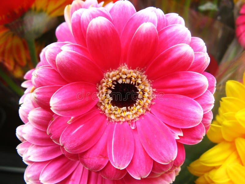 Marguerites roses de Gerbera images libres de droits