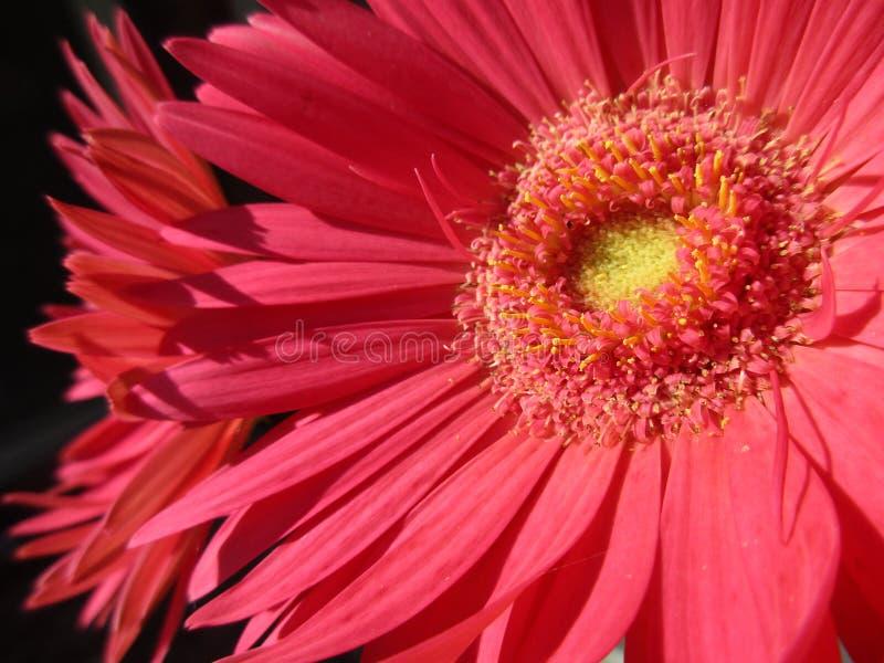 Marguerites roses lumineuses images stock