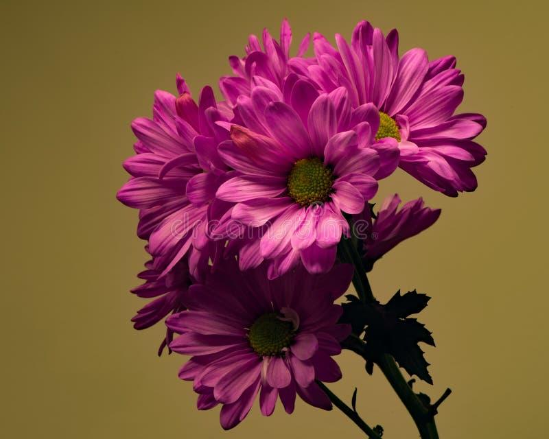Marguerites roses sur l'olive photographie stock libre de droits