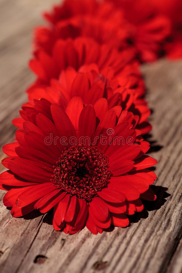 Marguerites rouges de gerbera image stock
