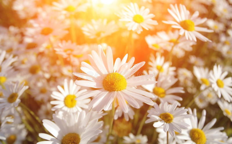 Marguerites sauvages photographie stock