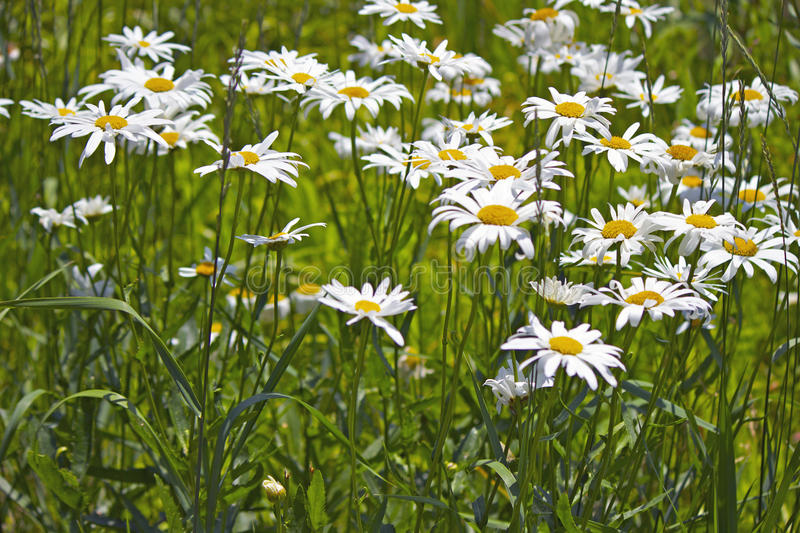 Marguerites sauvages image stock