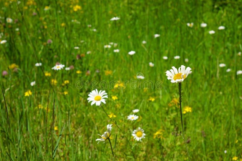 Marguerites sauvages dans Washington Forest du nord photographie stock