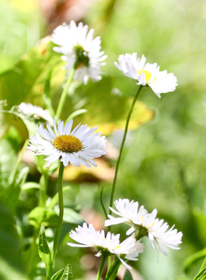 Marguerites simples images stock