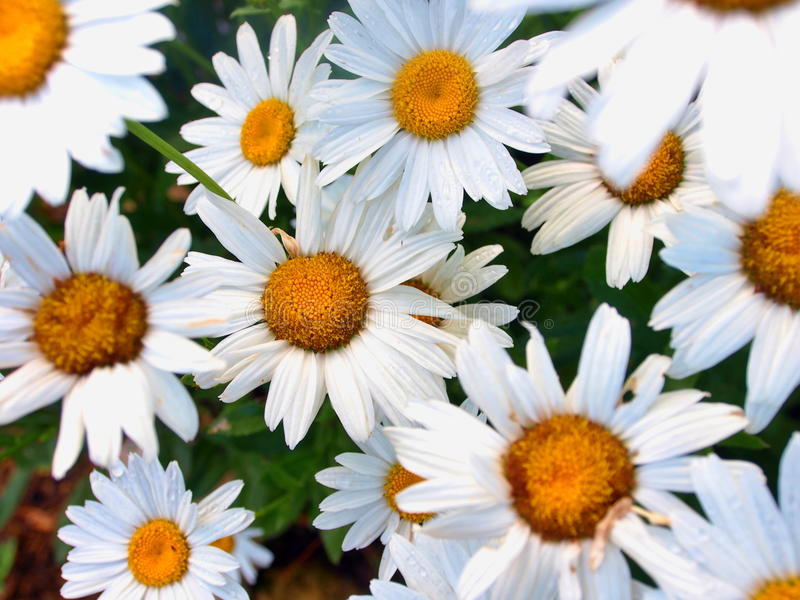 Marguerites. Some marguerites in the grass stock photo