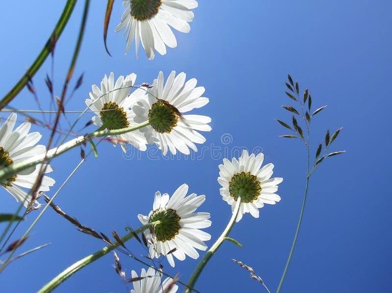 Marguerites sous le ciel bleu photos stock