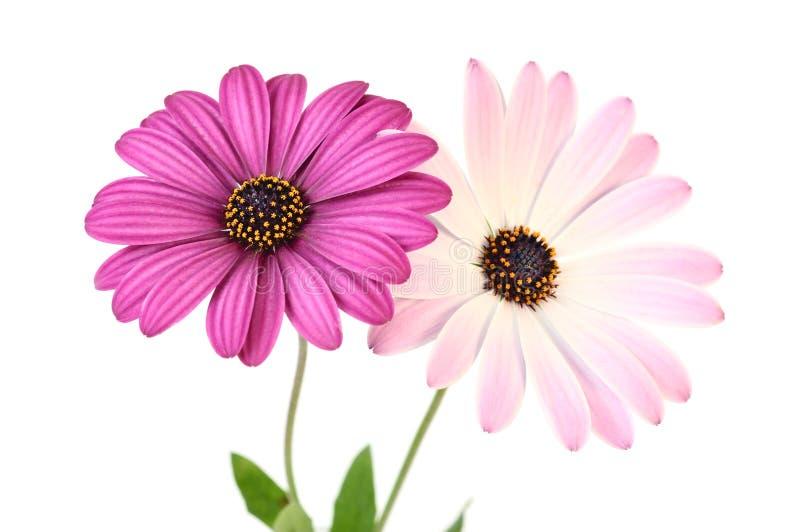 Marguerites violettes photographie stock libre de droits