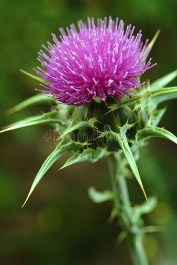 Download Marian thistle stock image. Image of beauty, green, wild - 874169