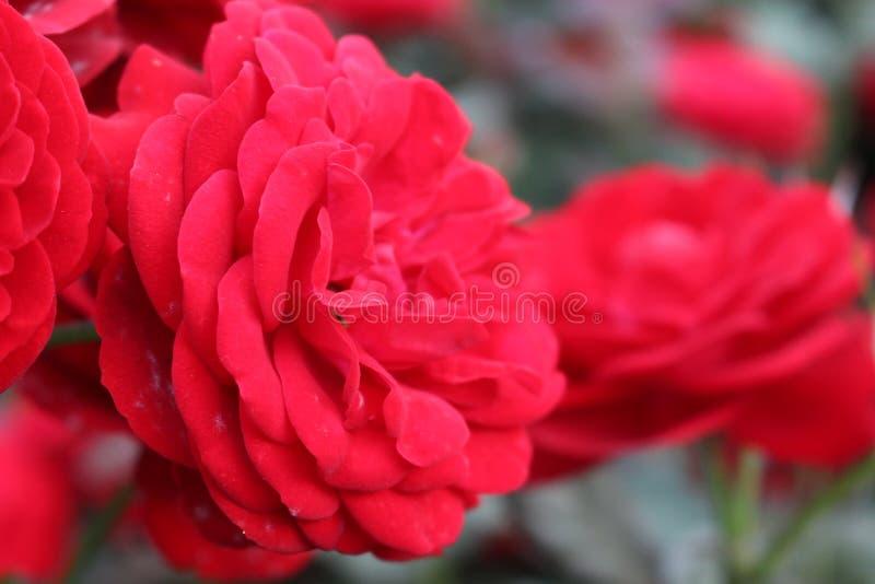 Mariandel Rose (rot) stockfotos