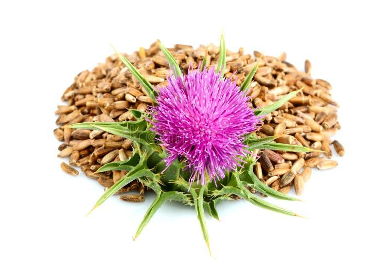 Marianum del Silybum de las flores del cardo de leche, cardo escocés, cardo mariano con las semillas fotos de archivo libres de regalías