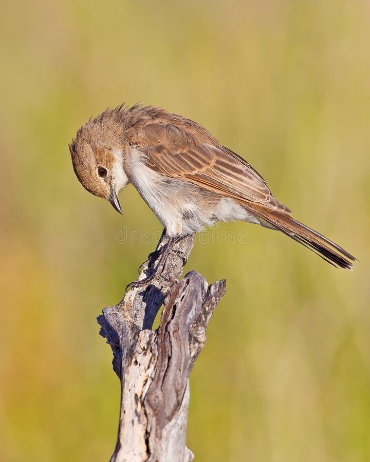 Marico Flycatcher stockfoto