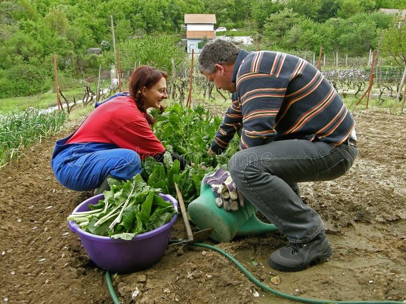 Marido e esposa em sua acelga da colheita da exploração agrícola fotos de stock royalty free