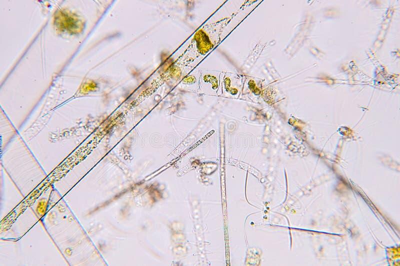 Marien aquatisch plankton onder microscoopmening royalty-vrije stock afbeeldingen