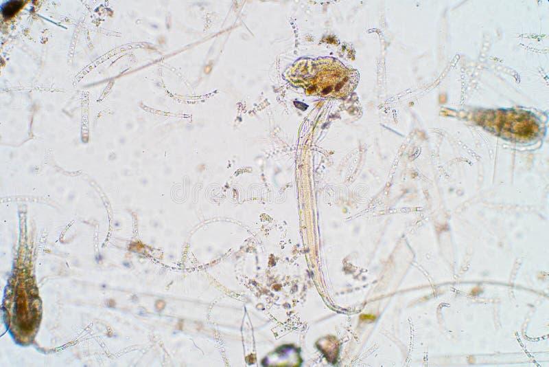 Marien aquatisch plankton onder microscoopmening stock foto's