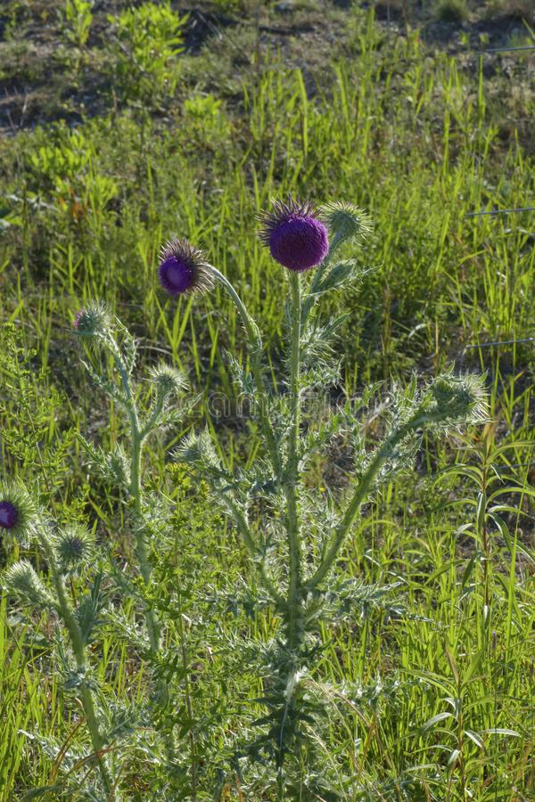 Marien`s thistle, Christ`s crown, mauve blossom on a meadow royalty free stock photos