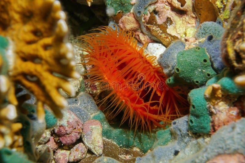 Marien tweekleppig weekdier Ctenoides scaber onderwater royalty-vrije stock foto's