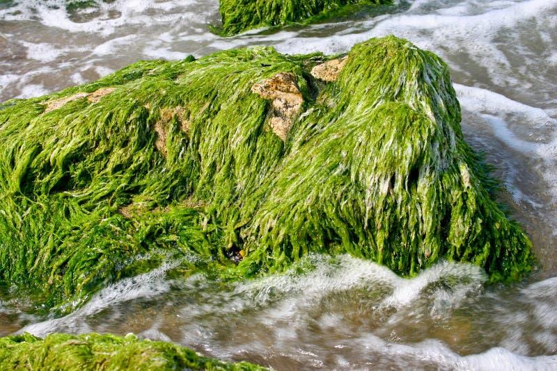 Mariene algen stock foto's
