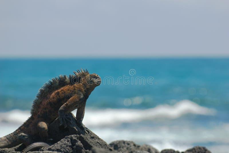Mariene leguaan op de rotsen stock afbeelding