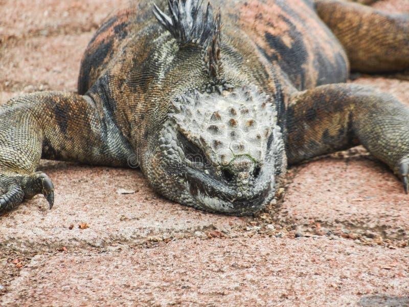 Mariene leguaan op het eiland van Santiago in het nationale park van de Galapagos royalty-vrije stock afbeelding