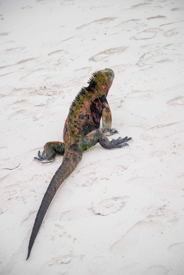 Mariene leguaan op Santiago Island in het Nationale Park van de Galapagos, Ecuador De mariene leguaan wordt gevonden slechts op d royalty-vrije stock foto's