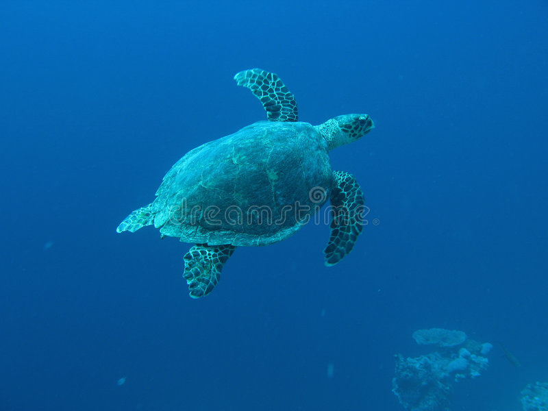 Mariene schildpad 01 royalty-vrije stock afbeelding