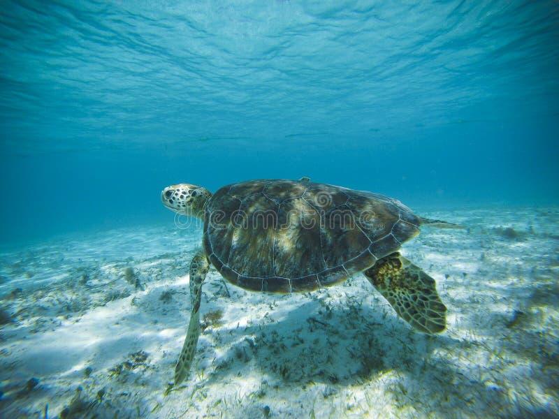 Mariene schildpad in glashelder water, Providencia royalty-vrije stock afbeelding