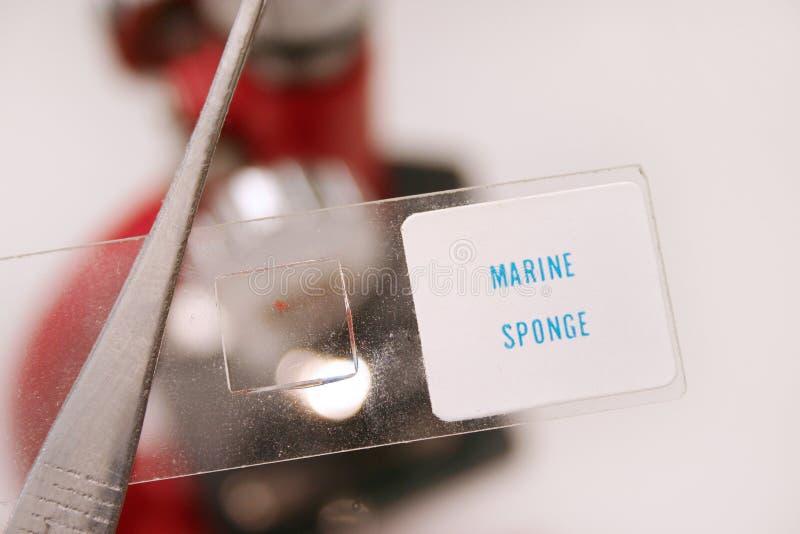 Mariene spons royalty-vrije stock foto