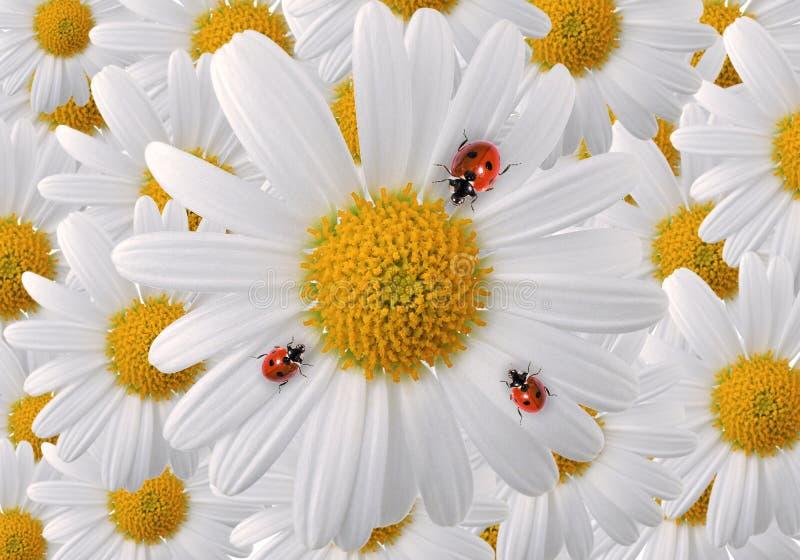 Marienkäfer auf Blumenblättern des weißen Gänseblümchens lizenzfreies stockbild