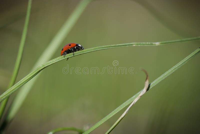 Marienkäfer auf dem Gras gegen undeutlichen Hintergrund stockfoto