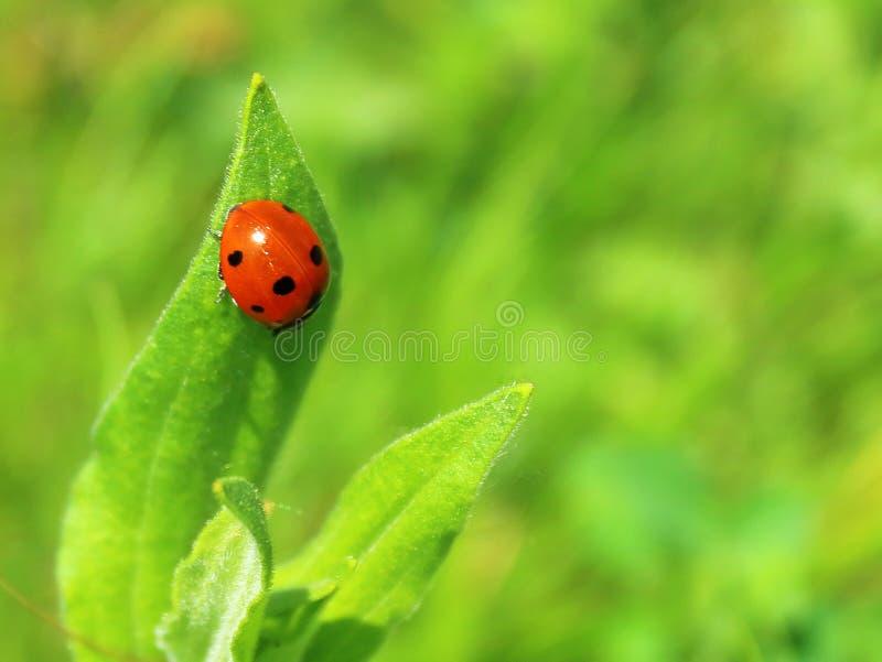Marienkäfer auf einem grünen Blattnahaufnahmehintergrund stockfotografie