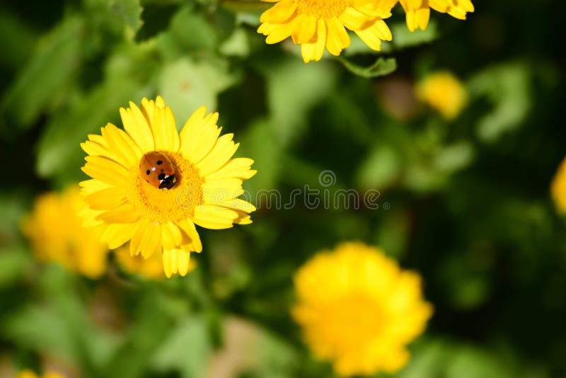 Marienkäfer auf Garten stockbilder