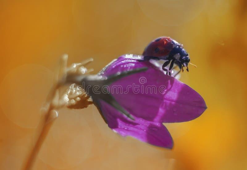 Marienkäfer auf purpurroter Glockenblume lizenzfreie stockfotografie