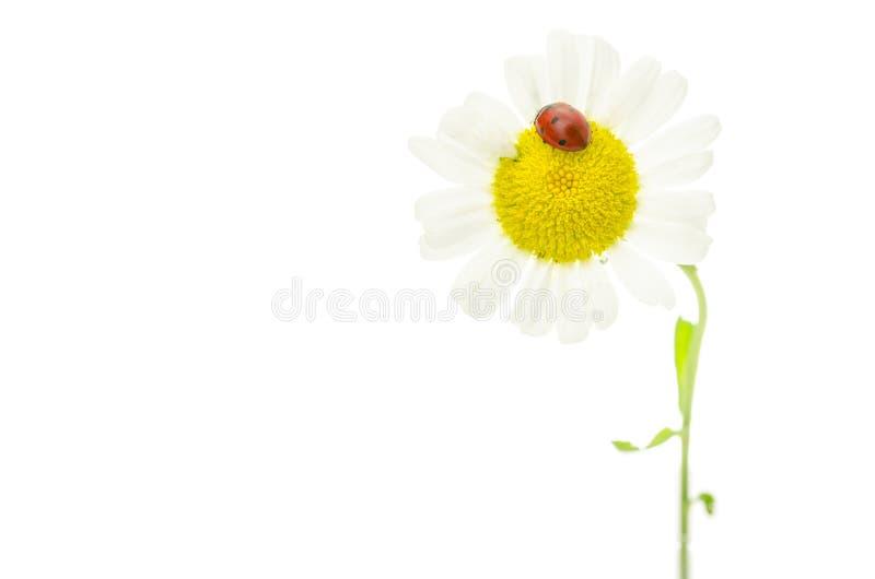 Marienkäfer, der auf Gänseblümchenblume sitzt stockfotos